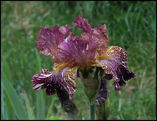 Iris Bewilderbeast
