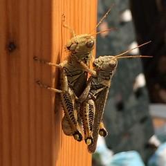 Grasshopper lovin'. #grasshopper #inmygarden