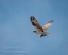 Osprey w/fish by saganorth2000