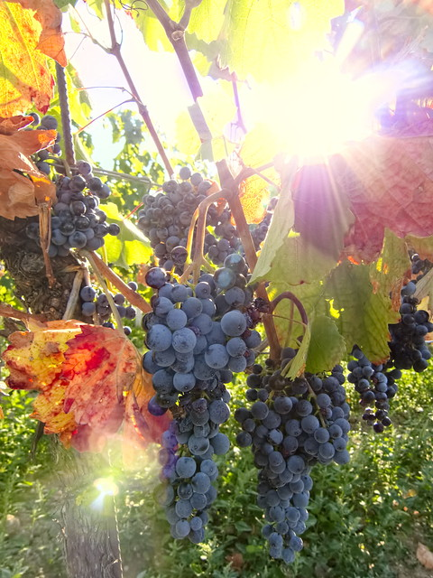 wine grapes (shining beads)