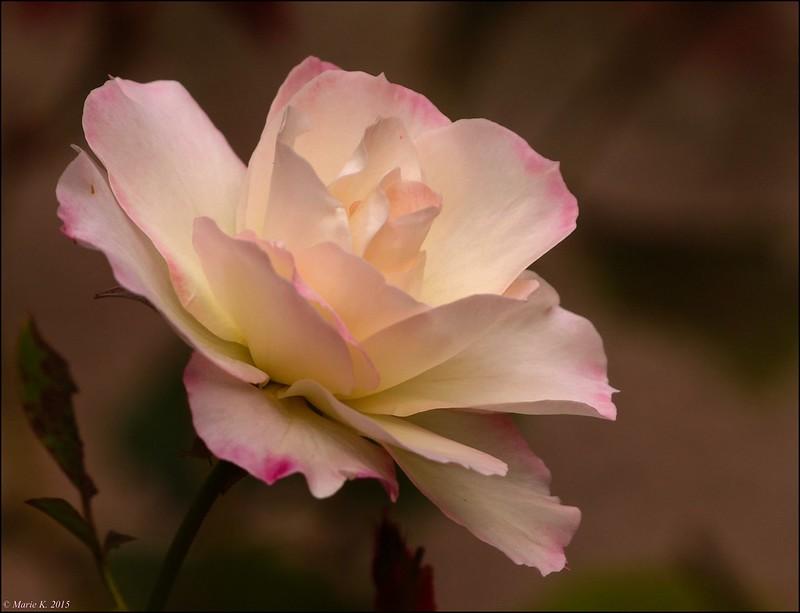 Rose parmi les roses  21776640438_3c9c943b24_c