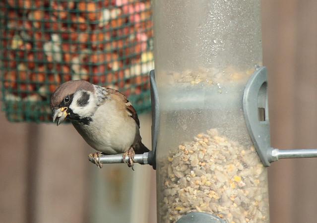 Tree Sparrow IMG_3499