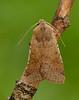 Beaded Chestnut Agrochola lychnidis by Iain Leach