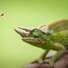 Jackson's Chameleon by ShutterJack