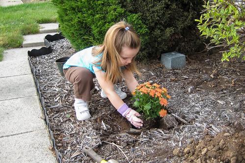 Planting Mums