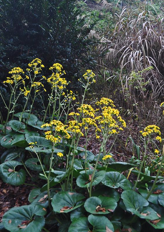 Farfugium japonicum 'Gigantea' (2)
