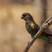 Meyer's Parrot by Hector16
