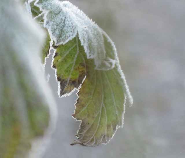 Frost on a dead leaf in a 'Depth of Field' experiment