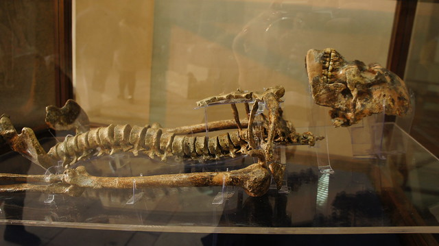 Wadi Kubbaniya skeleton at Egypt's Egyptian Museum