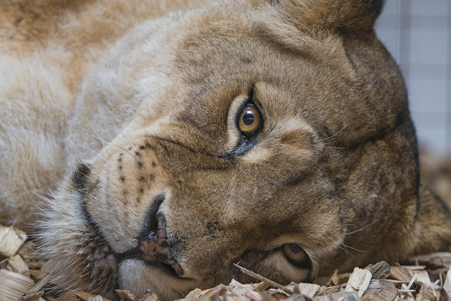 Tired old lioness