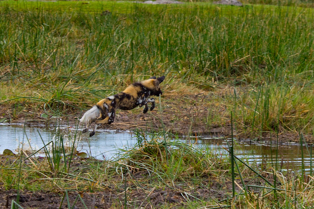 Wild dogs crossing a channel
