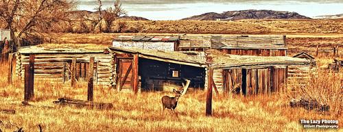 Nov 14 2010 - Doe making herself at home in Lysite Wyoming
