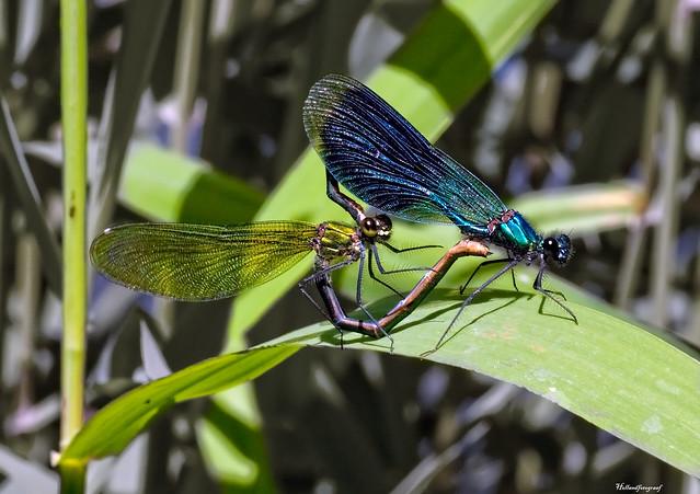 Beautiful Demoiselle male and female