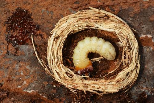 Rhagium inquisitor larva