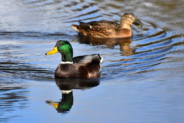 Wilde eend / Wild duck