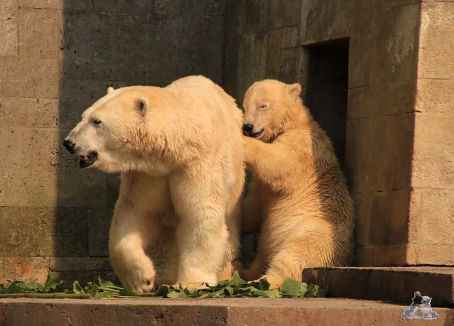 Eisbär Fiete imm Zoo Rostock 15.08.2015 Teil 2  329