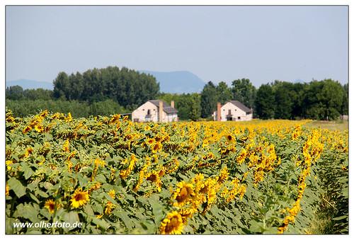 hungary sommer ungarn sonnenblumen