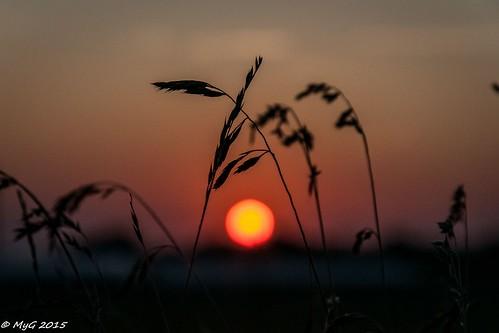 nikon nikkor18105 bruxelles belgium sun sunrise red lowkey reeds nature morning fields dof pdc imagetrolled myg autofocus mygphotographiewixsitecommyg2017