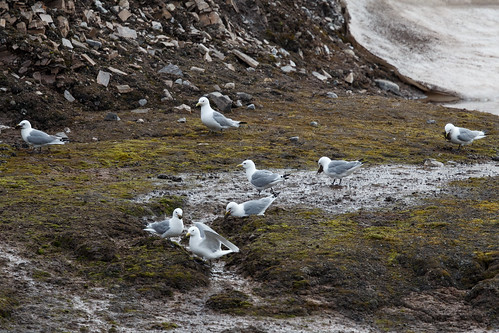 Black-legged Kittiwake (Tretåig mås)