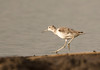 Marsh Sandpiper, Tringa stagnatilis, Msuna Fishing Resort, Zambezi River, Zimbabwe by Jeremy Smith Photography