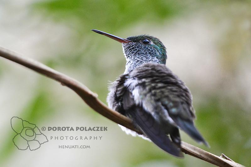 Sombre Hummingbird (Aphantochroa cirrhochloris)