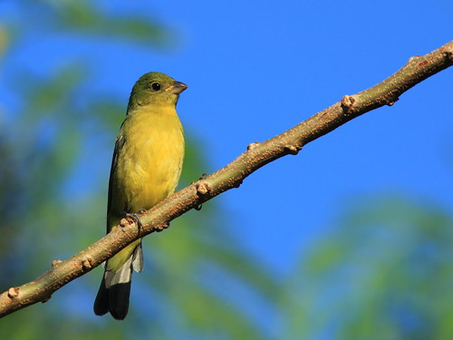 Painted Bunting female 20151101