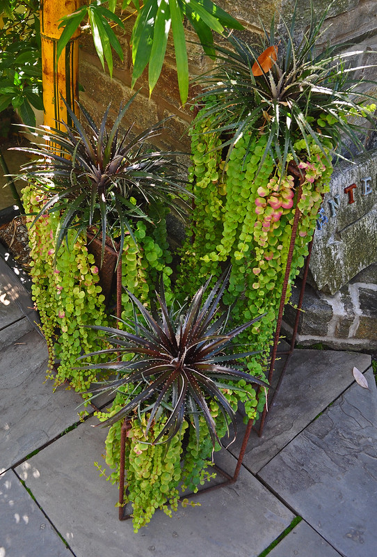 Dyckia 'Grape Jelly', Lysimachia nummularia 'Aurea' (Entrance Patio)