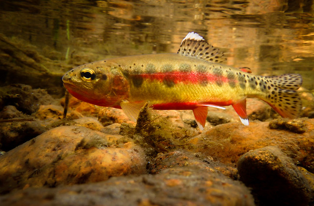 Photo of California Golden Trout