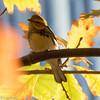 Black-Throated Green Warbler Lake Shore East Park 10-22-15 -5830