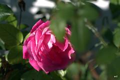 rosas rojas,naranjas y rosas.