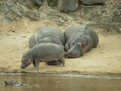 Hippos (Hippopotamus amphibius) Masai River, Kenya