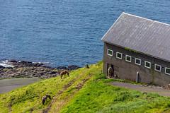 Horses and a stable at Velbastaður, Faroe Islands