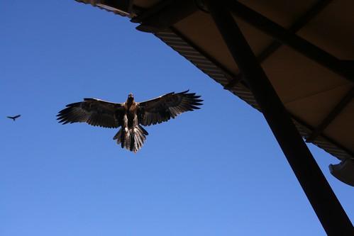 Wedgetailed Eagle Alice Springs Desert Park