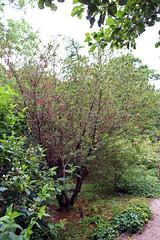 Eleocarpaceae