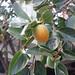 Persimmons by mynameispikkul