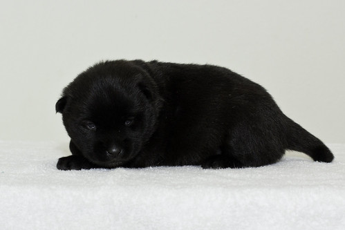 Nori-Litter3-Day17-Pup2(female)c
