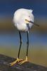 EOS50379 Snowy Egret