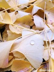 Ginkgo leaves (银杏叶 )