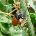 Small photo of Labidostomis species. Chrysomelidae