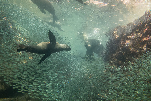 sea lions & school of fish