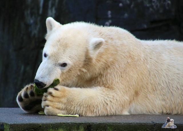 Eisbär Fiete im Zoo Rostock 12.12.2015   19