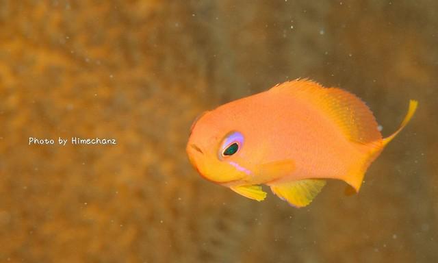 いつも見てるのにまた見ちゃう。。キンギョハナダイ幼魚