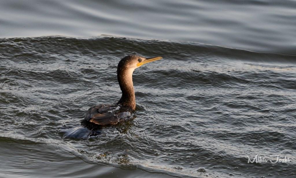 Indian Cormorant [Cormorán Indio]