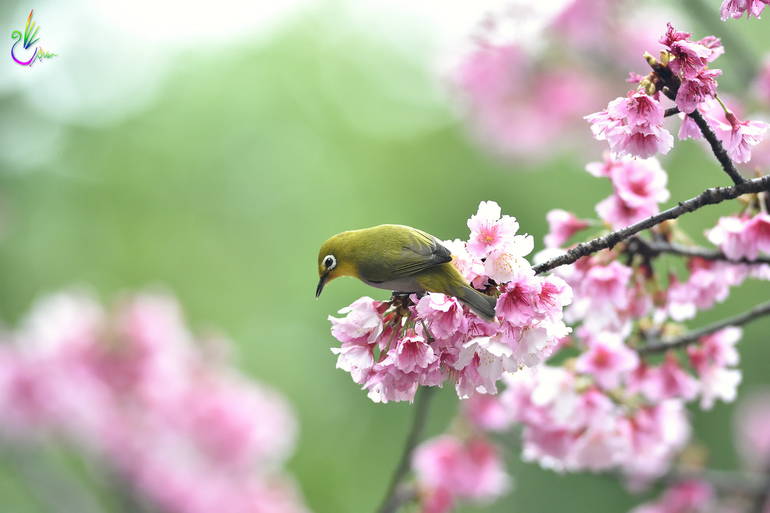 Sakura_White-eye_5008