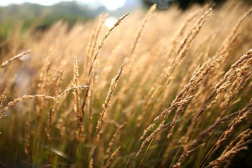 Wheat fields <3