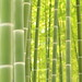 bamboo grove. by cate♪