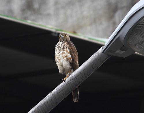 都市環境中的鳳頭蒼鷹。攝影:楊明淵。
