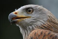 Rotmilan / Red Kite (Milvus Milvus)