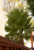 "California Fan Palm planned by home owners that feel the need for a ""native"" tree."