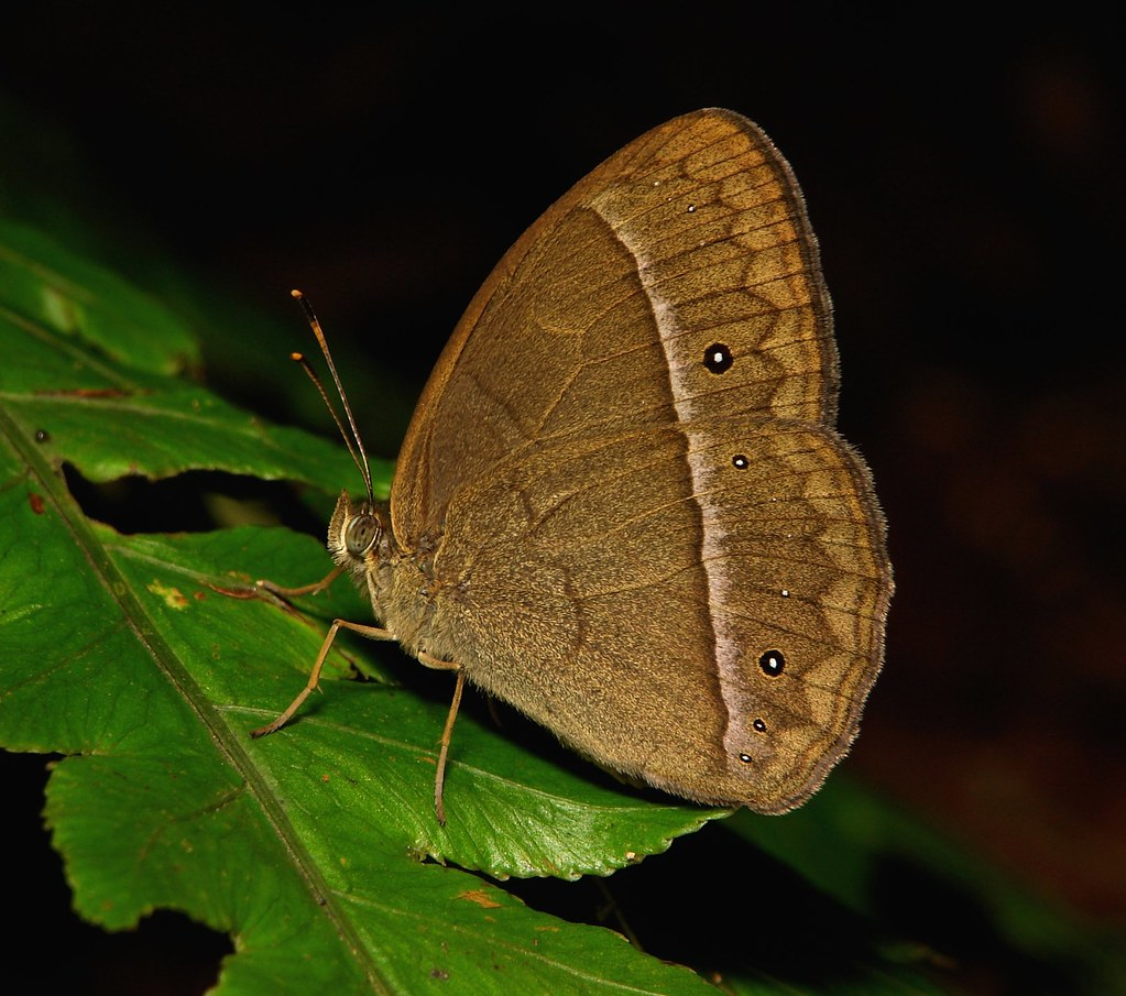 Bushbrown Butterfly (Mycalesis sp., Satyrinae, Nymphalidae), dry season form